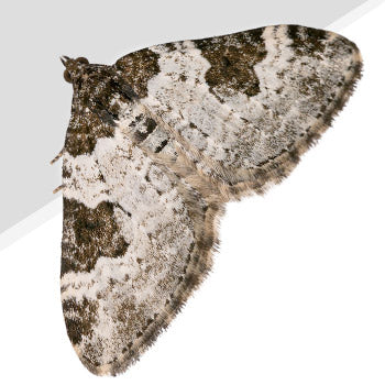 Carpet Moth Pest Control