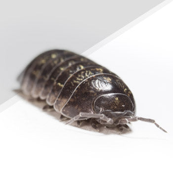 Woodlice Pest Control