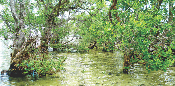 Mangroves, Malizia, and one million trees