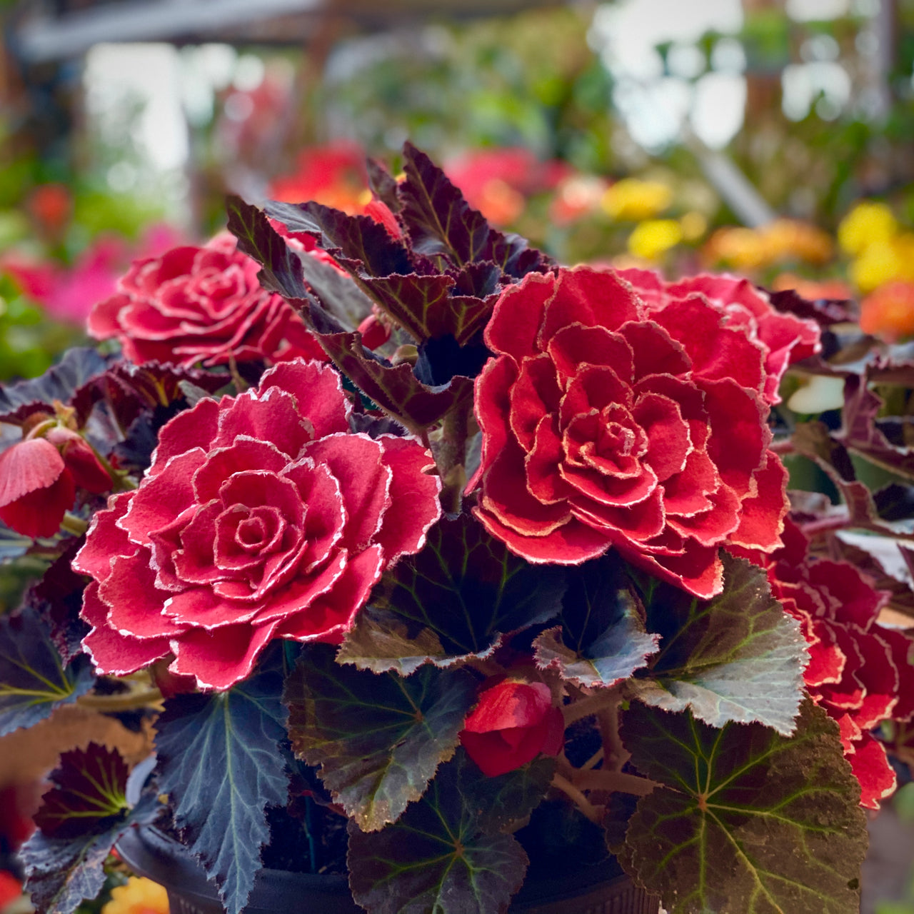 Lace Begonia Collection