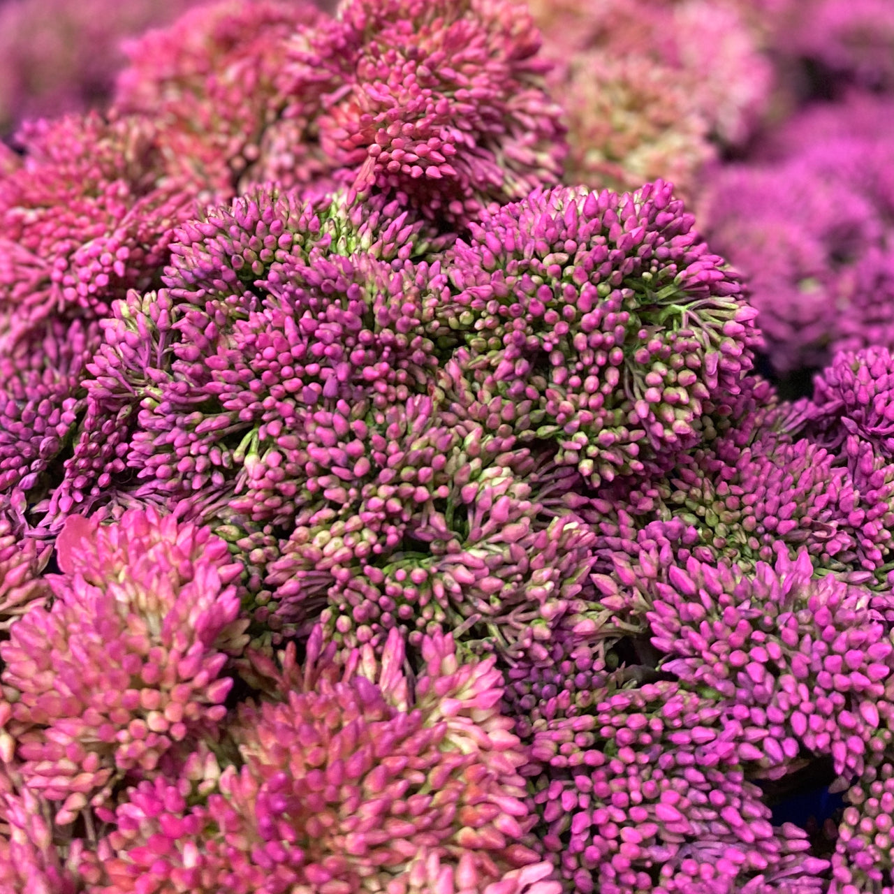 Barbara King 3pc. Award Winning Sedum Brilliant