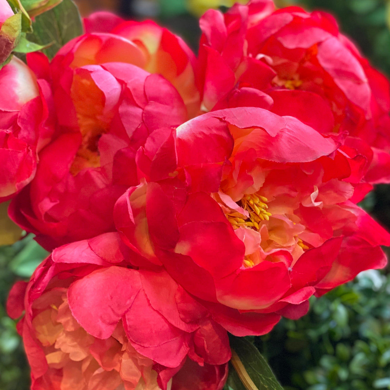 Barbara King 3pc. Award Winning  Fragrant Peony Coral Sunset