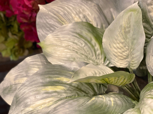 Barbara King 3pc. Hosta White Feather