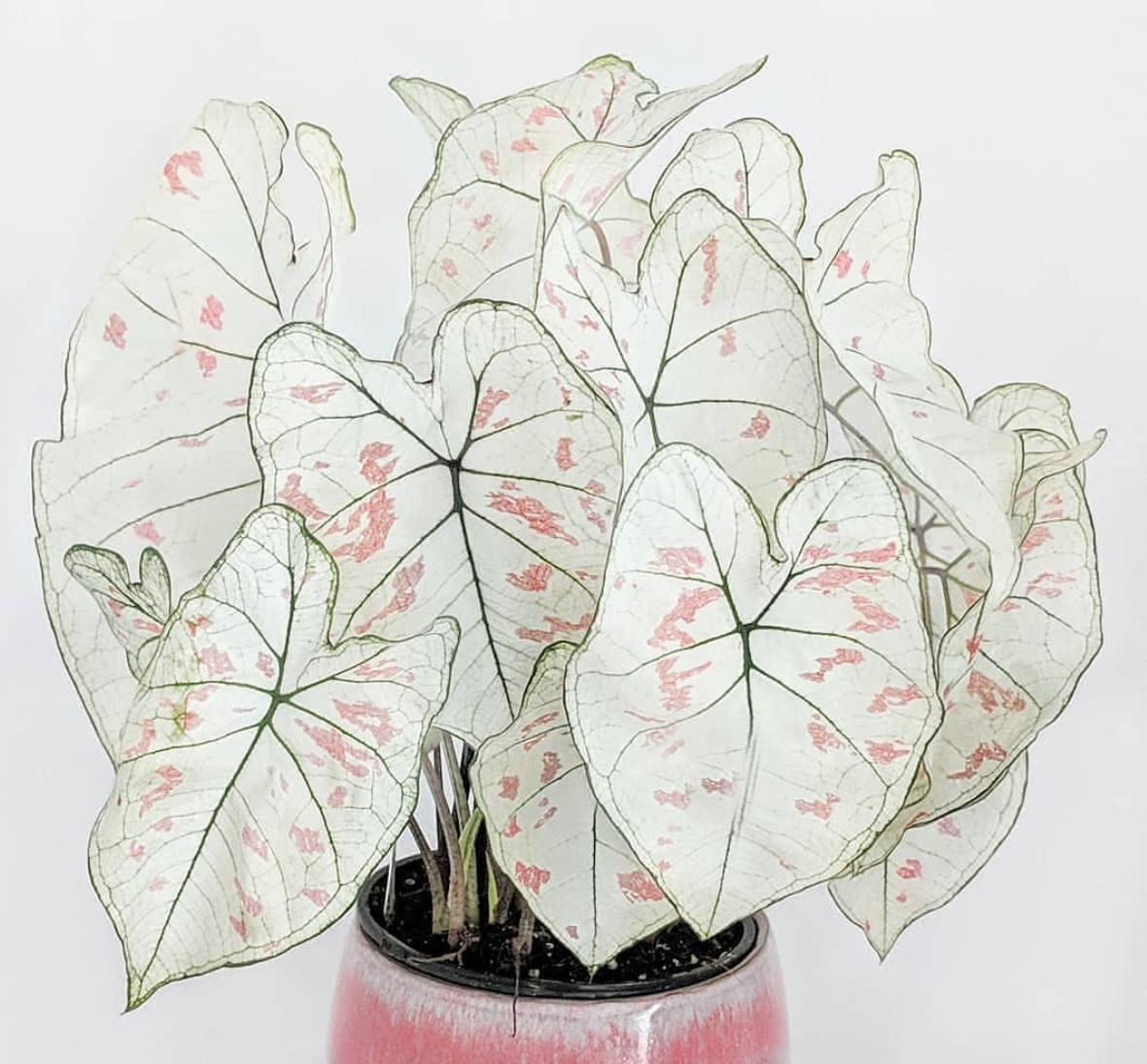 La folie des caladiums
