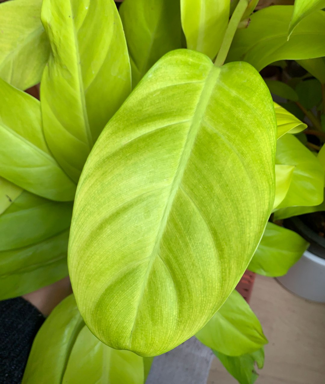 Entretien - Philodendron lemon lime
