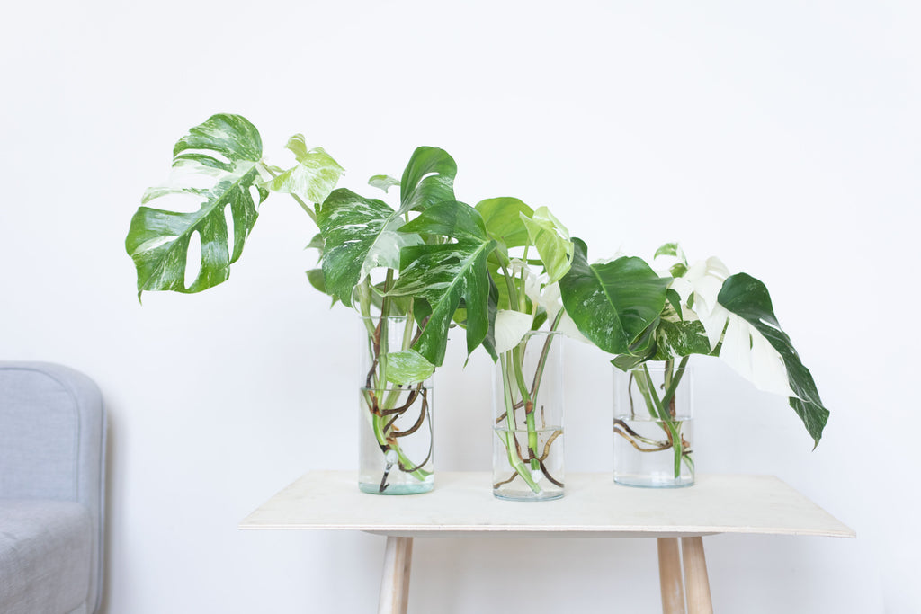 bouture de monstera variegata