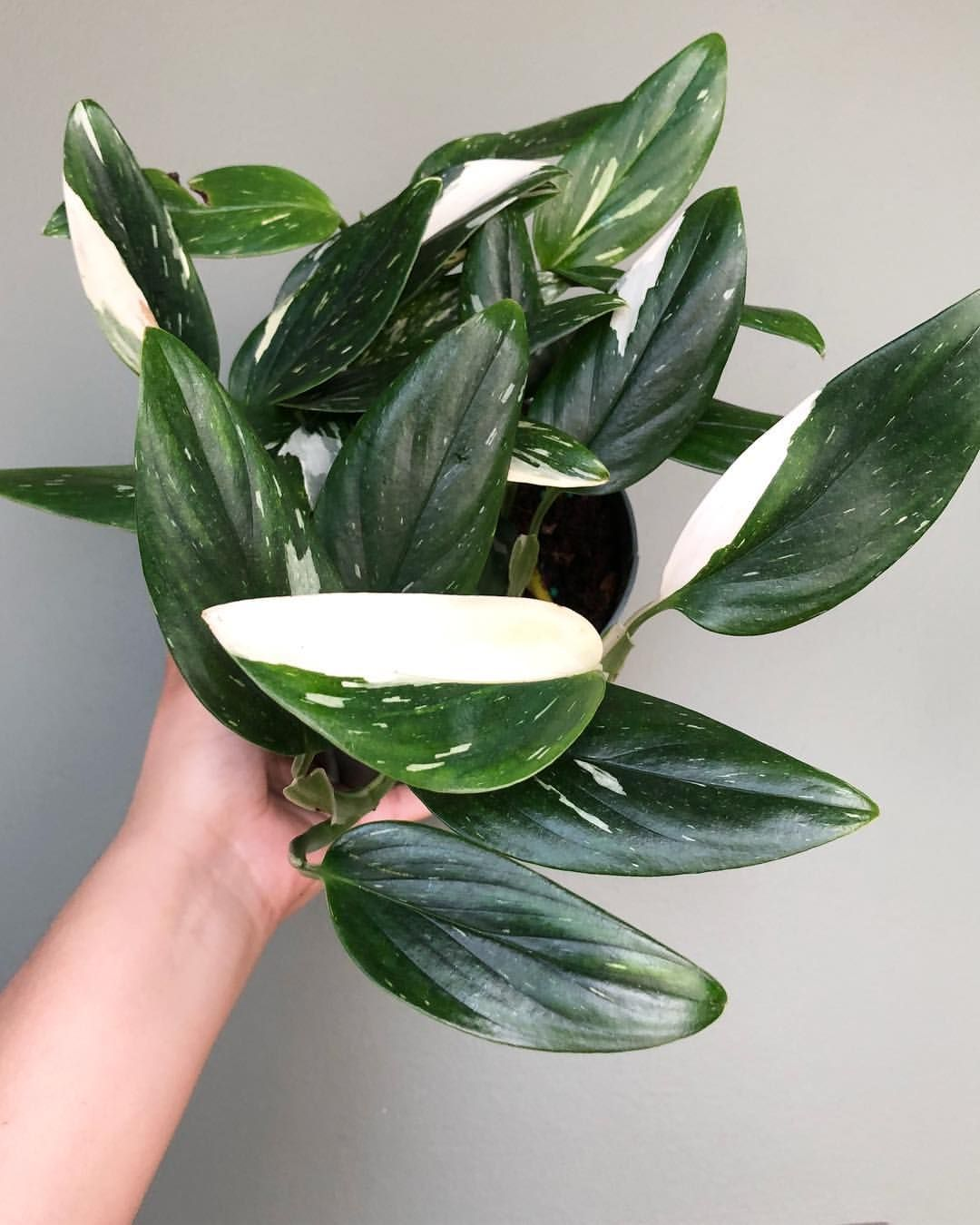 monstera standleyana