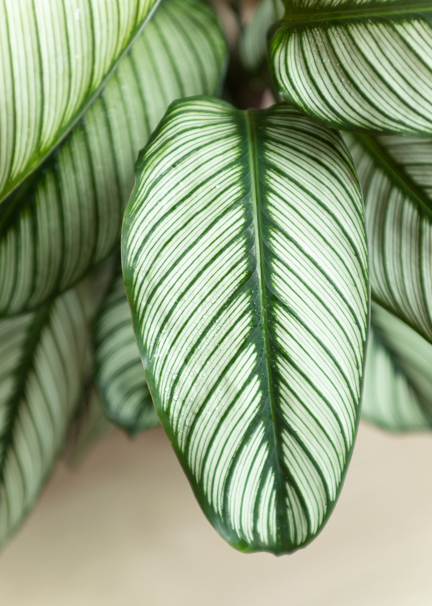Calathea White star