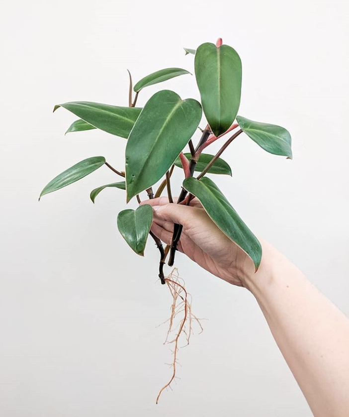 philodendron Red emerlad