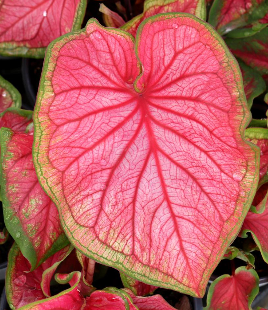 caladium Florida Sweetheart
