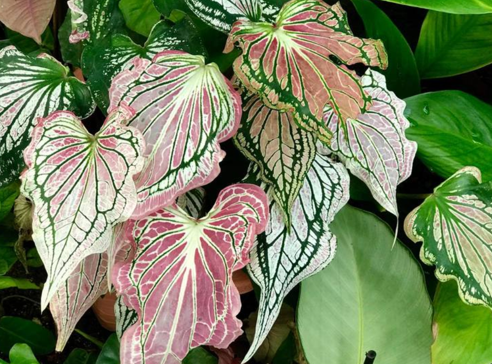 Caladium thai beauty