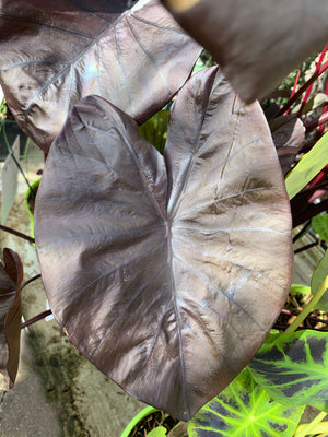 Colocasia Black Coral