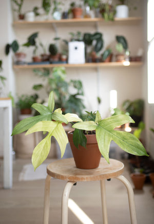 philondendron florida Ghost