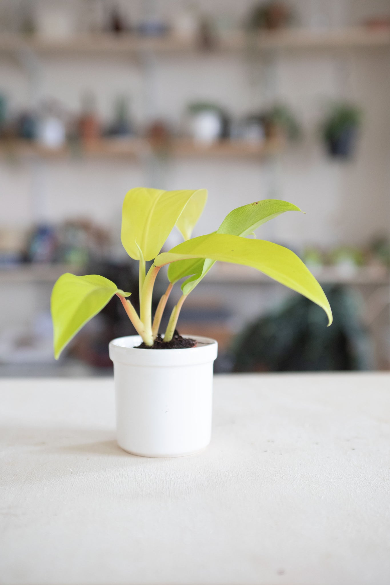 philodendron lemon lime 'Malay Gold'