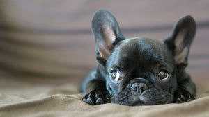 French Bulldog: The Adorable Goofball