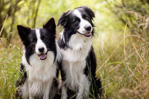 Border Collie: 6 Things You Should Know