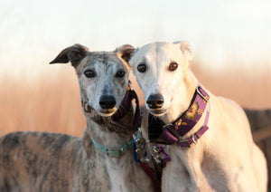 5 Things to Know: Greyhounds
