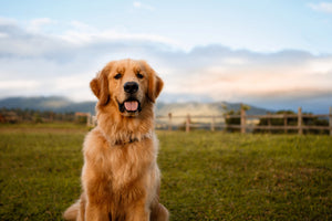 Golden Retriever: Is it the right dog for you?