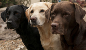 Labrador Retriever: The Most Popular Breed in Canada
