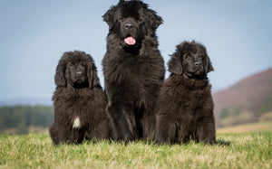 5 Things to Know: Newfoundland Dog