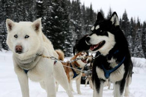 Siberian Husky: 5 Things to Know