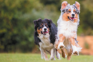 Four Things You Should Know: Australian Shepherd