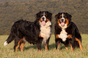 5 Things You Should Know: Bernese Mountain Dog