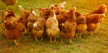 A flock of healthy chickens