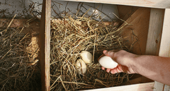 collecting eggs from nesting box