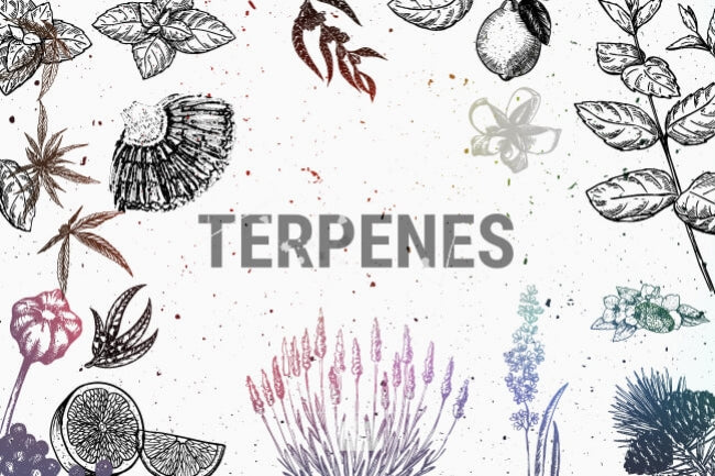 What are Terpenes and what do they do?