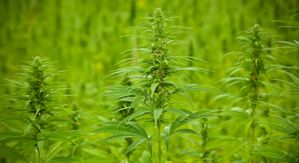 The wide range of uses for the hemp plant