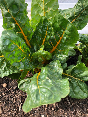Swiss Chard, Bunched