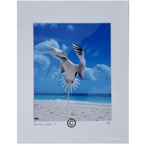 Photo: Bermuda Longtail (Matted) - Hand Made (Bermuda)