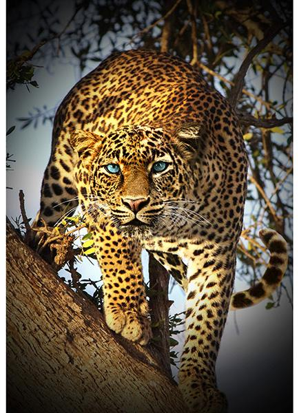 Call Of The Wild | Leopard