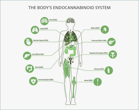 The endocannabinoid system (ECS) is a biological system
