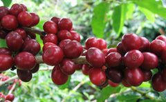 Coffee berries need to be processed to begin making what we know as coffee