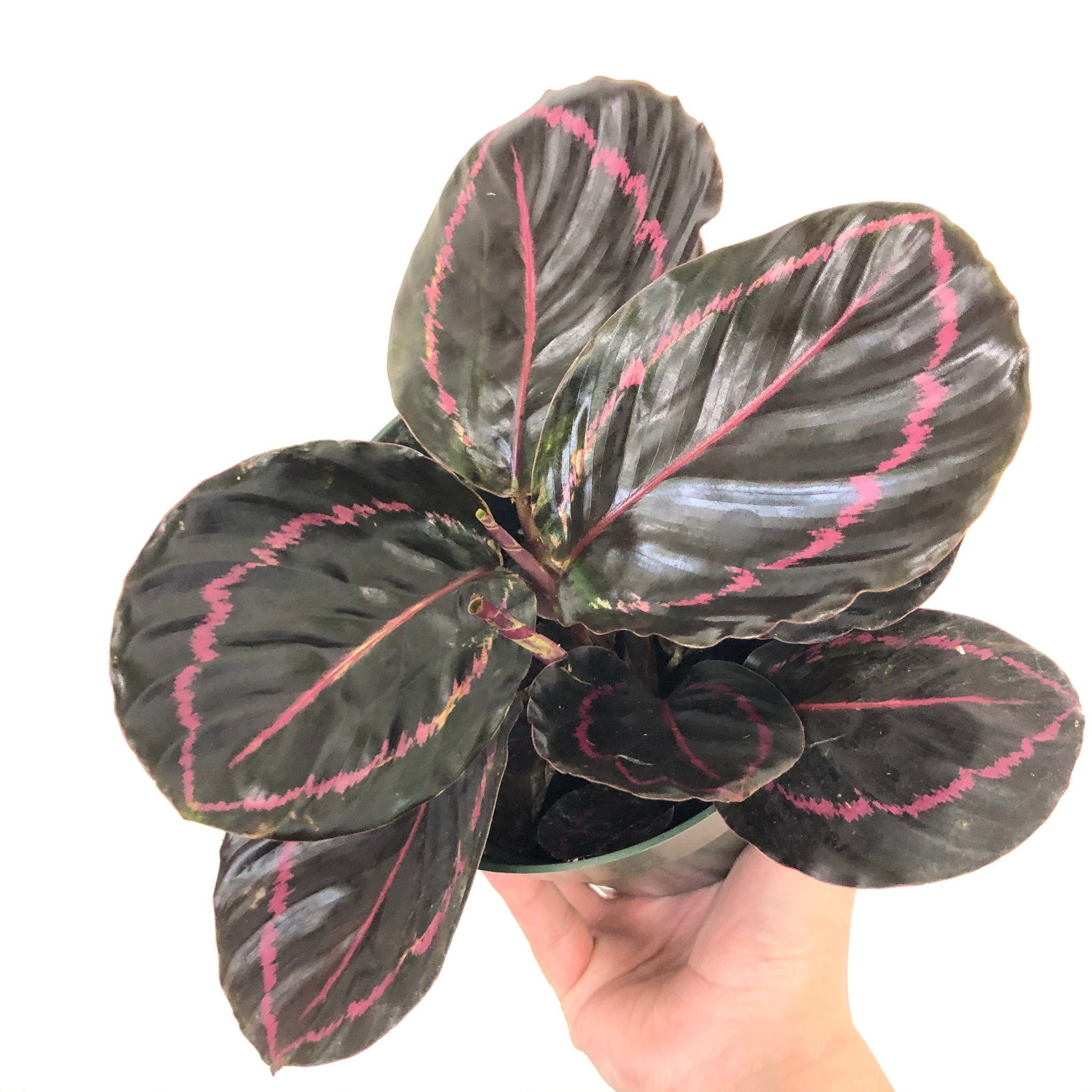 Calathea 'Dottie' 6in