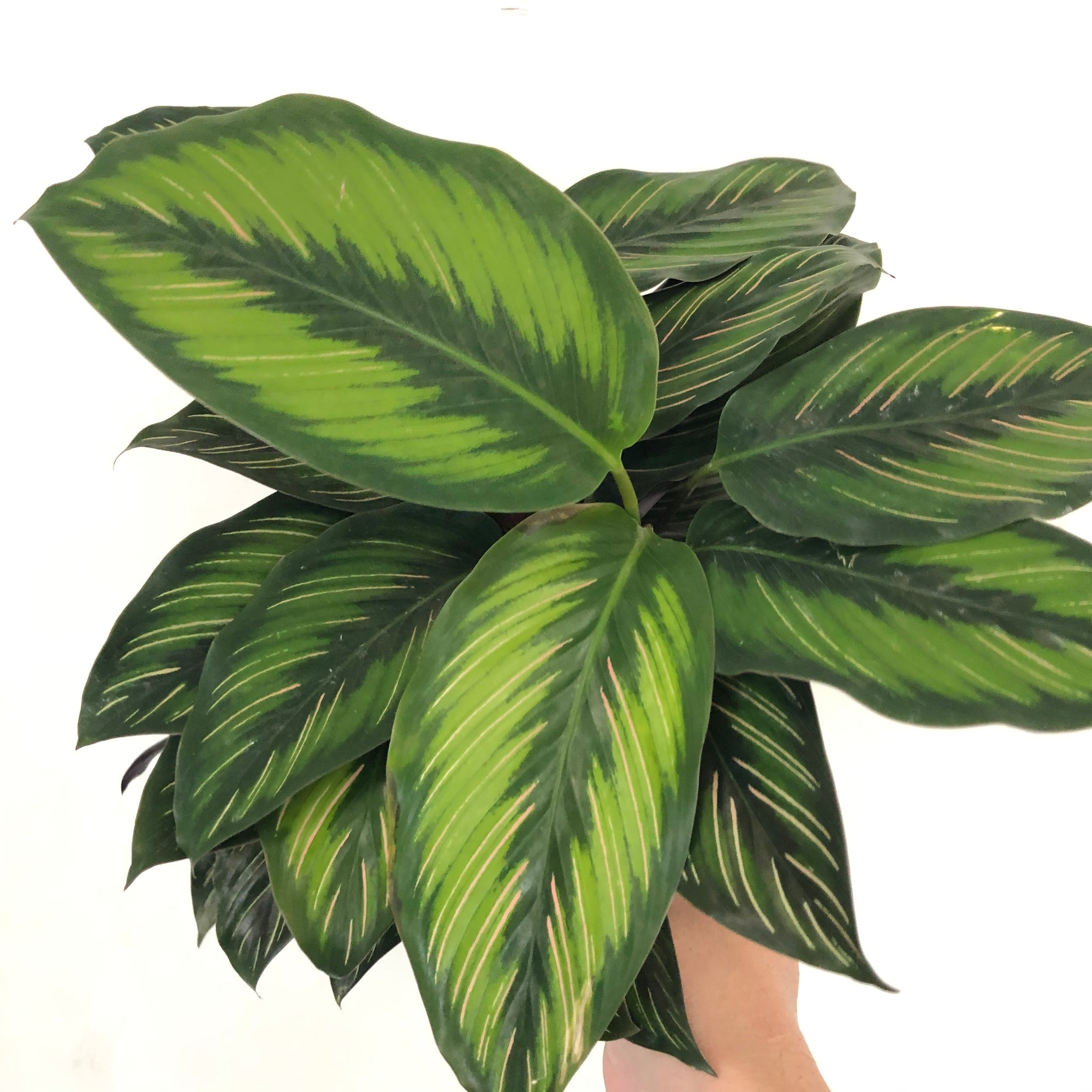 Calathea 'Beauty Star' 6in