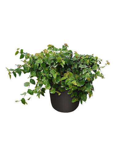 Creeping Fig (6in)