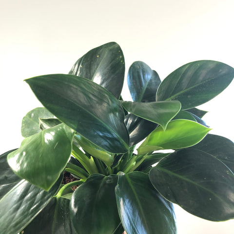 Philodendron 'Green Princess' (Large)