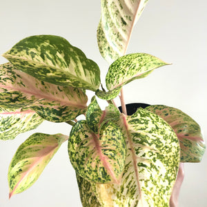 Aglaonema 'Butterfly'