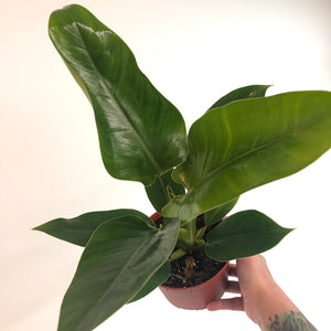 Philodendron 'Congo Green' (Large)