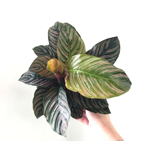 Calathea ornata (6in)