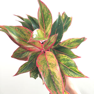 Aglaonema 'Siam' (6in)