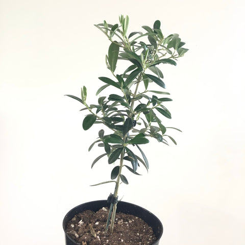 European Olive Tree (6in)