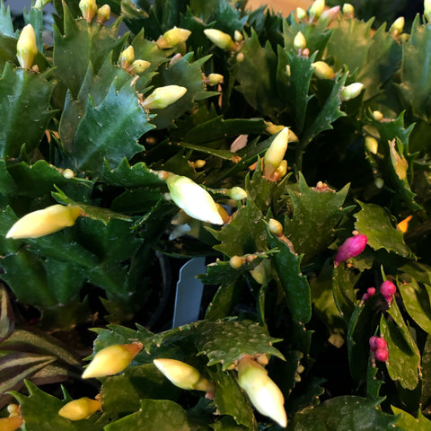 Holiday Cactus (6in)