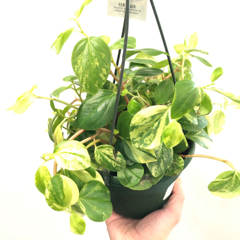 Peperomia scandens variegata (6in)