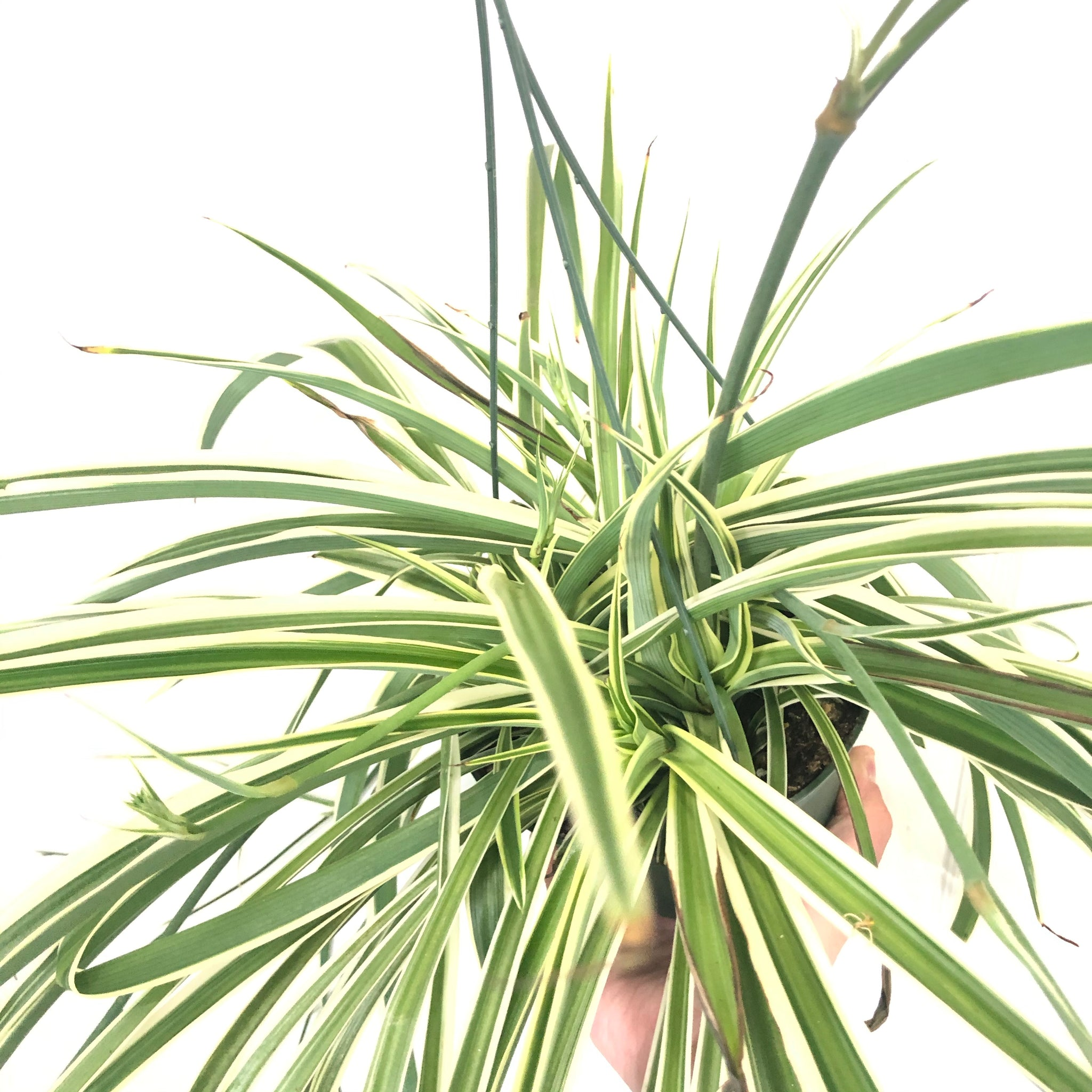 Variegated Spider Plant (6in)