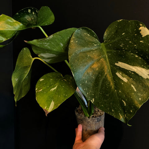 Monstera 'Thai Constellation'