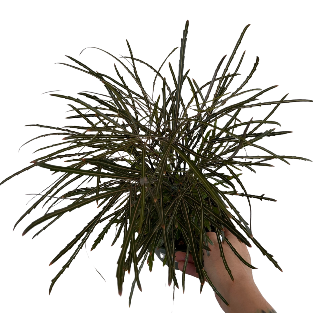 False Aralia (6in)